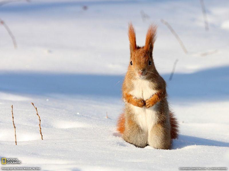 19. Рыжая белка в снегу. Зима в Польше в 2010 году была долгой и очень суровой. (Dorota Walczak)
