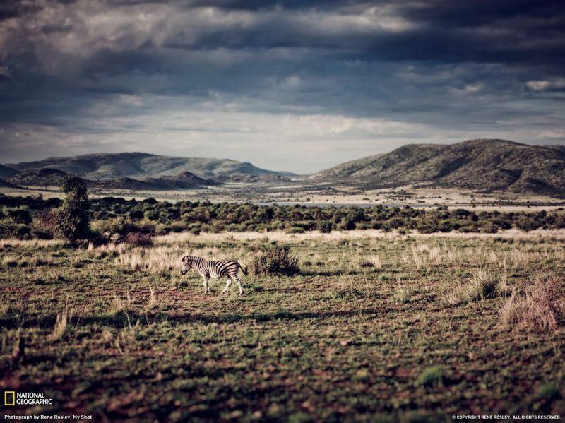 24. Одинокая зебра на закате в национальном парке Пиланесберг, ЮАР. (Rene Roslev)