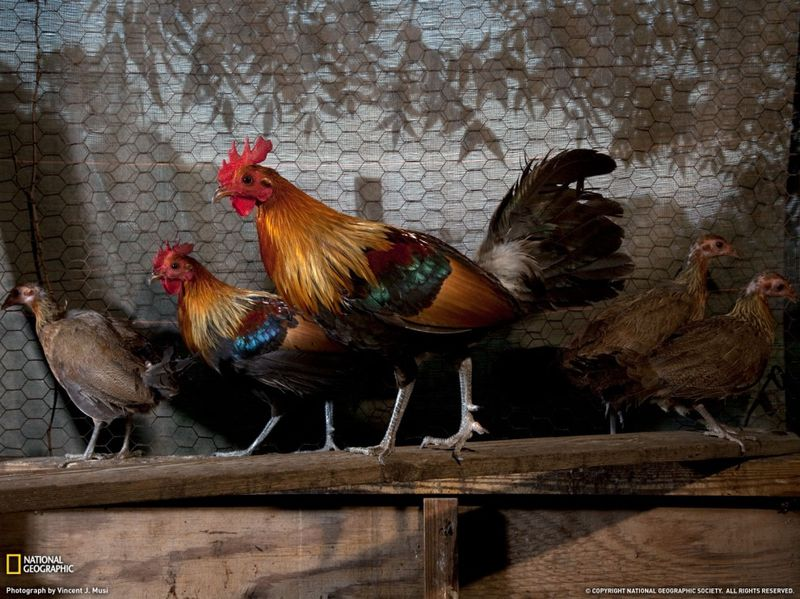 25. Дикие петухи – прародители нынешних домашних кур – сидят в курятнике недалеко от Стэйтсборо, штат Джорджия. Остатки населения в северо-центральной Индии в начале 60-ых, эти птицы могут быть последними в своем роде – в плане генетики. По мере того, как человек все дальше продвигается на территории обитания этих диких птиц, домашние куры, которых они привозят с собой, смешиваются с этими дикими птицами, что «загрязняет» их кровь. (Vincent J. Musi)