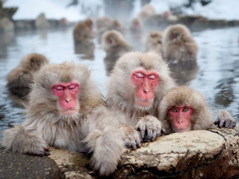 28. Японские макаки в горячем природном источнике в Нагано. Родители очень внимательно следят за своими детьми. Я увидел эту сфену с двумя обезьянами и их любознательным детенышем, и решил запечатлеть ее. (Patrick Shyu)