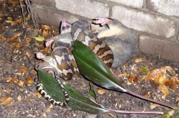 Змея заглотила крокодила