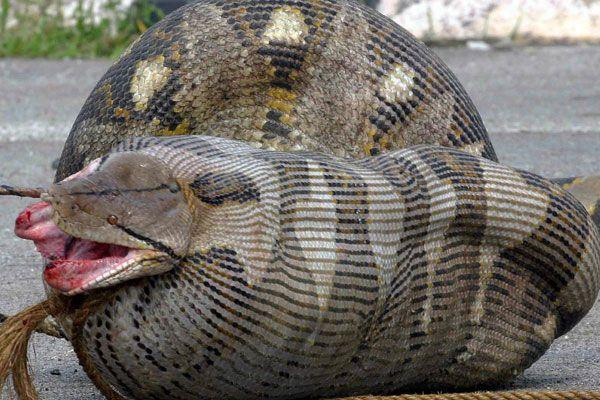 змея ест змею: