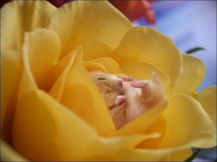 Хомячки и цветы (16 фото)