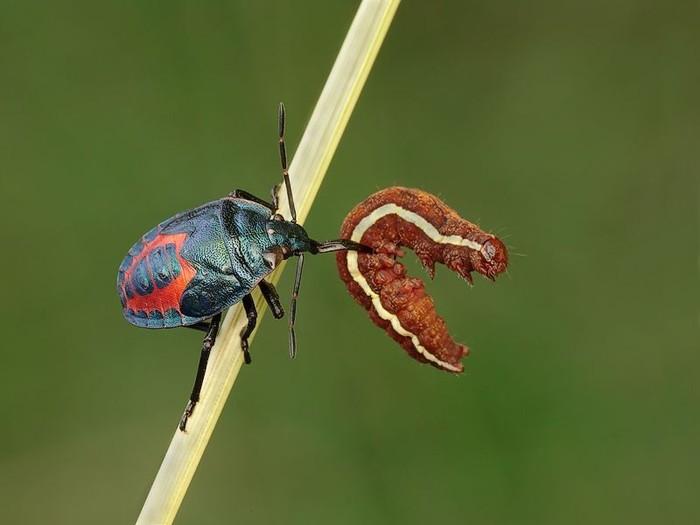 Удивительные насекомые (8 фото)
