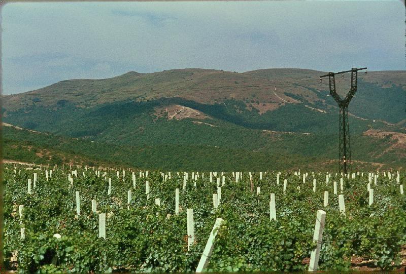 6. Виноград сорта Кабардинка
