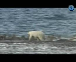 Белый медведь против моржа