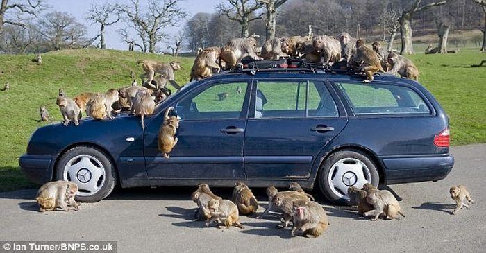 Не оставляйте машину наедине с обезьянами! (13 фото)