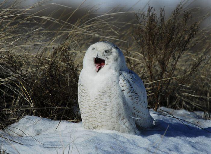 Смеящиеся совы (35 фото)