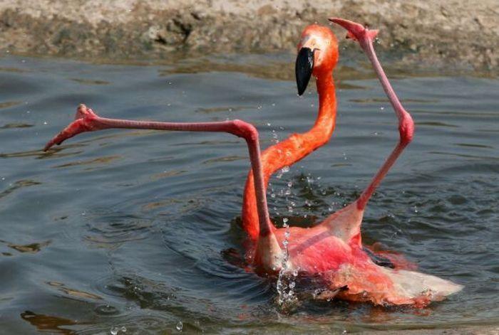 Упавший фламинго (2 фото)