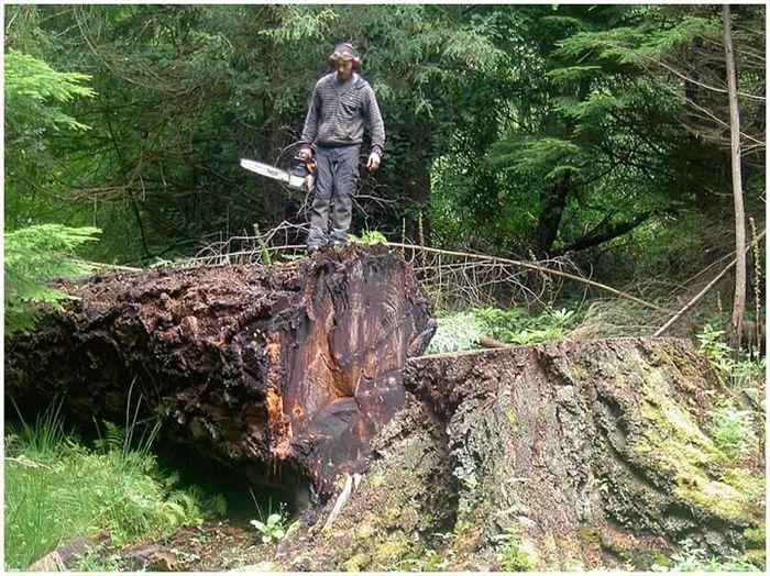 Вторая жизнь срубленных деревьев (13 фото)