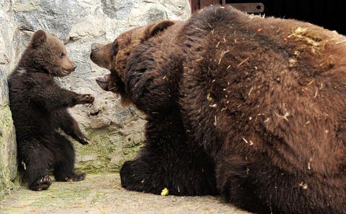 Медвежье воспитание (4 фото)