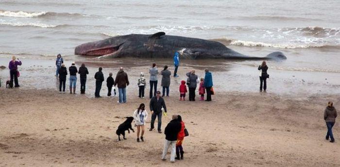 На пляж британского Линкольншайра выбросило 30-тонного кашалота (4 фото)