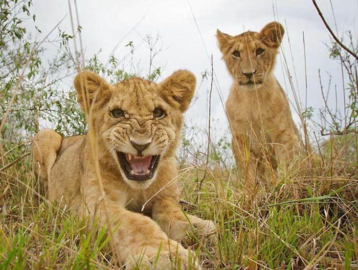 Львы крупным планом (22 фото)