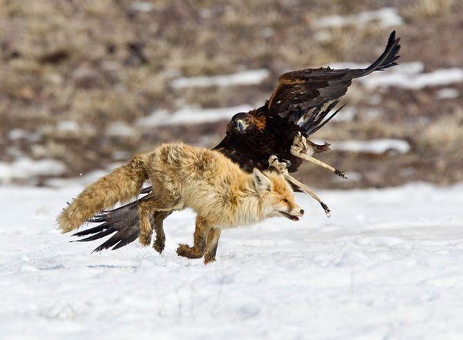 La caza con águilas en Kazajistán 12