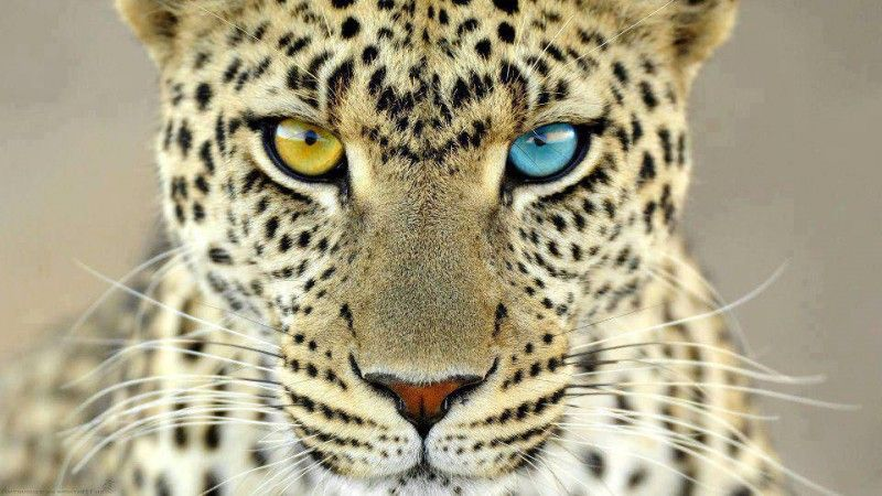 Фото красивое животное, леопард, разные глаза, тигр