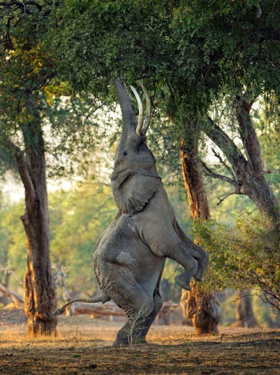 Новые фото дерево, животное, на задних лапах, слон
