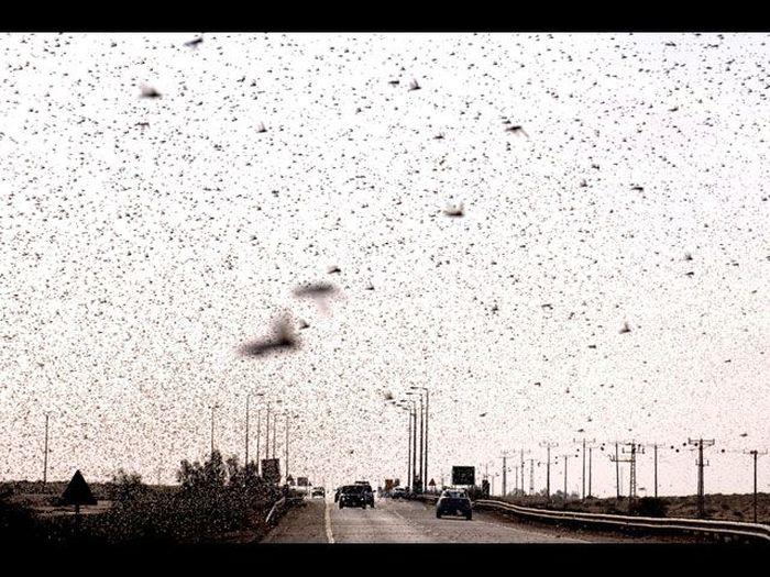 саранча, нашествие, насекомое