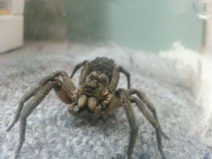 паук, питомец, насекомое
