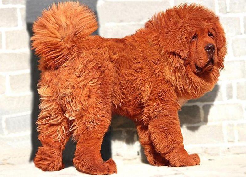 El perro más caro del mundo Sobaka-0001