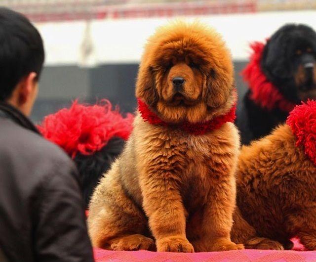 El perro más caro del mundo Sobaka-0002