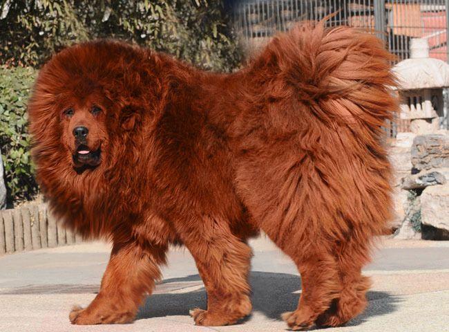 El perro más caro del mundo Sobaka-0006