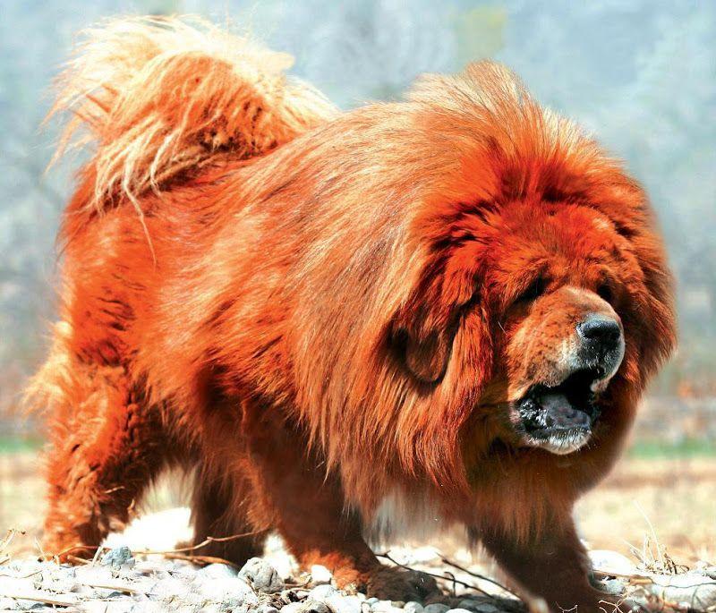 El perro más caro del mundo Sobaka-0007