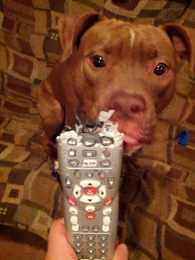 Зачетное фото погрыз, псина, пульт, собака