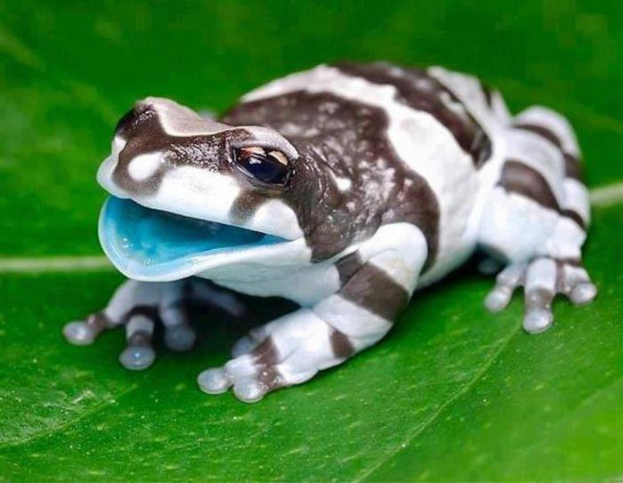 Фото животное, зверек, лягушка, экзотика