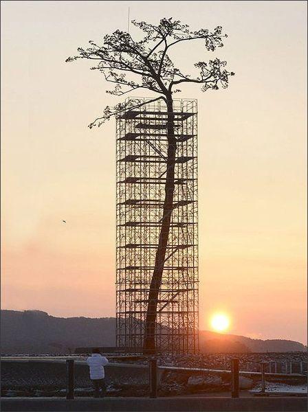 цунами, сосна, роща, деревья