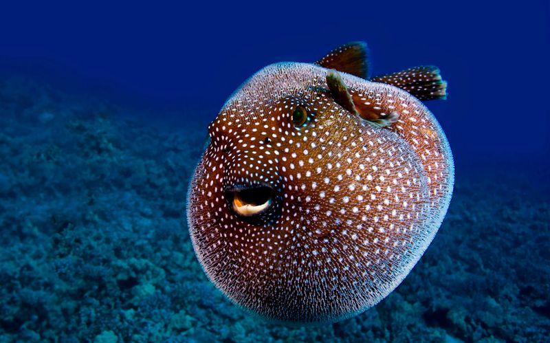 Смешные картинки красивая рыба, надулась, под водой
