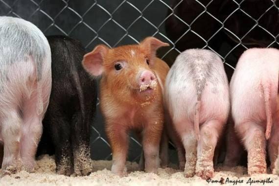 Фотоприкол дня голова, особенный, свиньи, хрюша