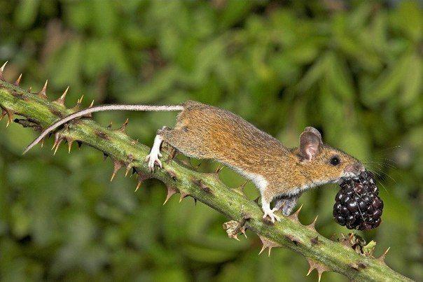 Фотография иголки, мышонок, ягода