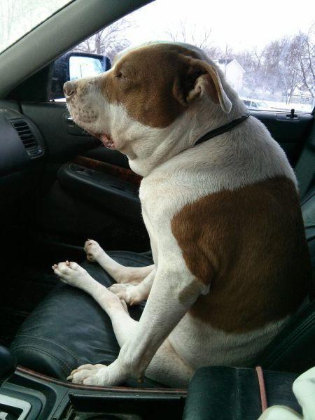 Свежий фотоприкол нелепая поза, псина в машине, собака