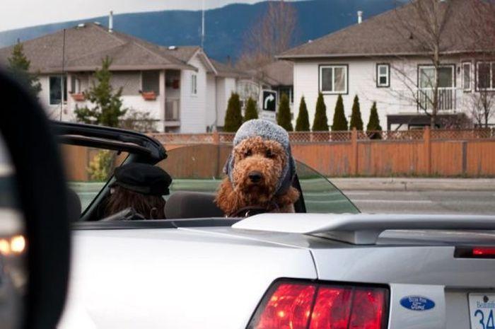 Фото онлайн головной убор, собака в машине, шляпа
