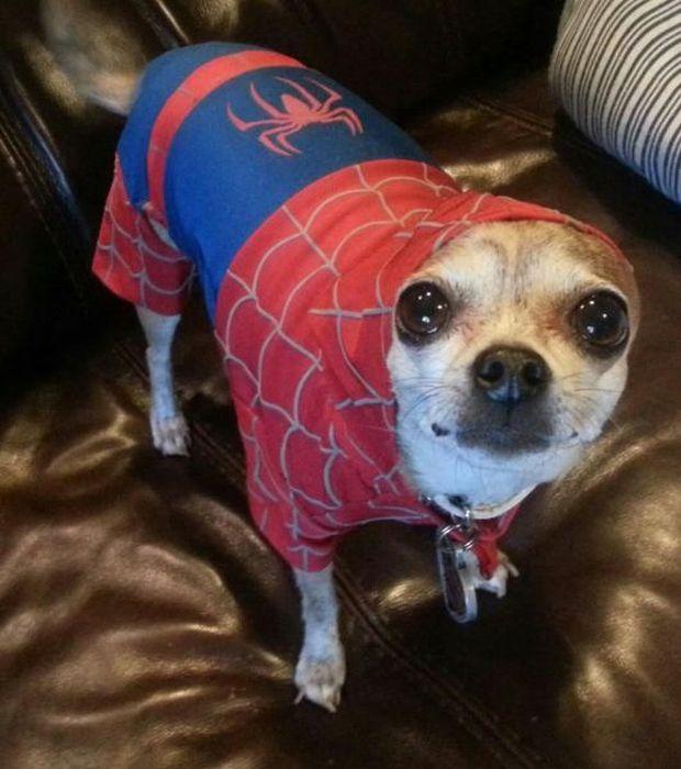 Зачетное фото костюм, песик, человек паук