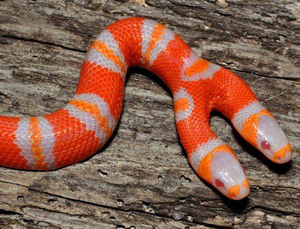 Фотожесть две головы, змея, красивая, круто