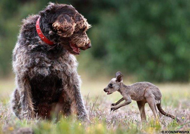 Kanguru ve Kopegin Dostlugu.
