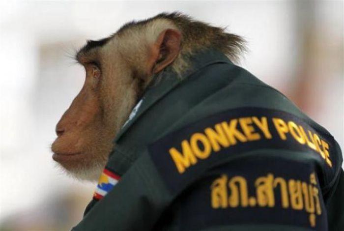 Полицейская обезьяна (9 фото)