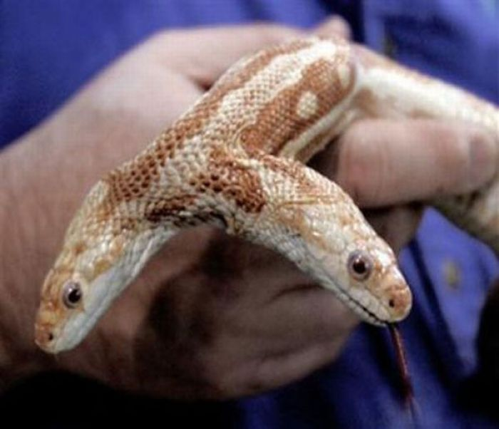 Змеи с <br /> двумя головами (28 фото)