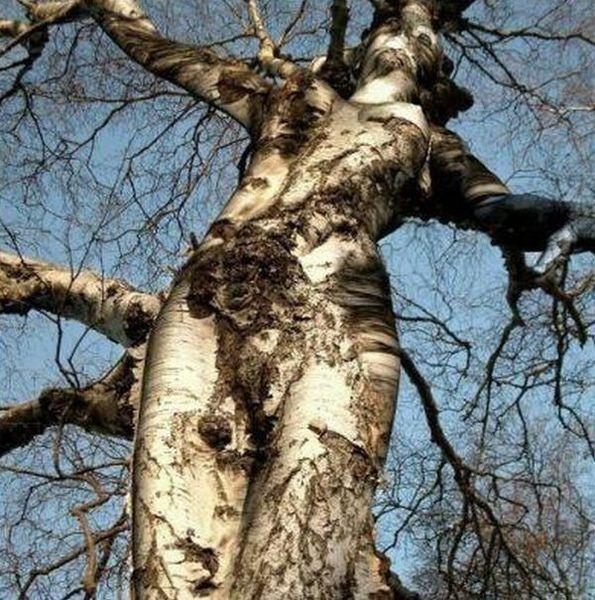Сексуальн дерева