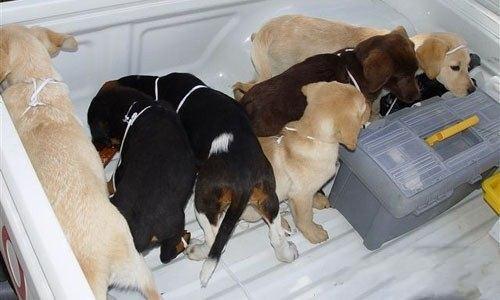 8.Особо отвратительный вариант перевозки: Колумбийские наркодельцы прооперировали щенков, при этом разместив в них около 3 кг кокаина. К счастью, сотрудникам американской службы DEA удалось изъять наркотики, не причинив ущерба собакам.