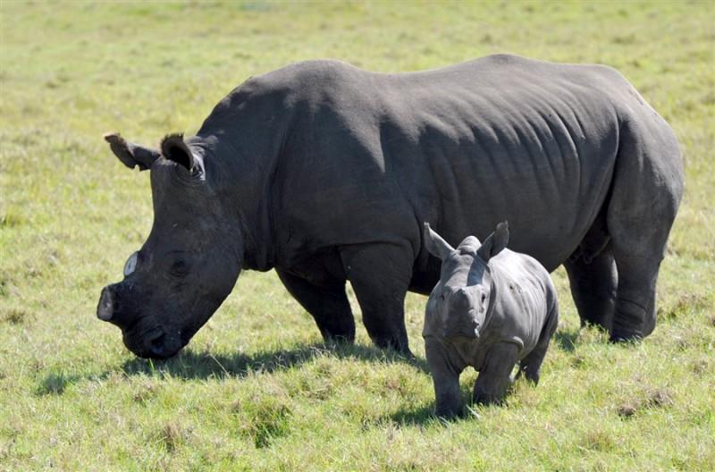 Cрезают рога носорогам, чтоб спасти их (5 фото)