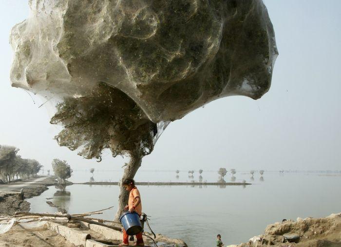 Нашествие пауков на Пакистан (8 фото)
