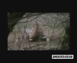 Тигр против крокодила