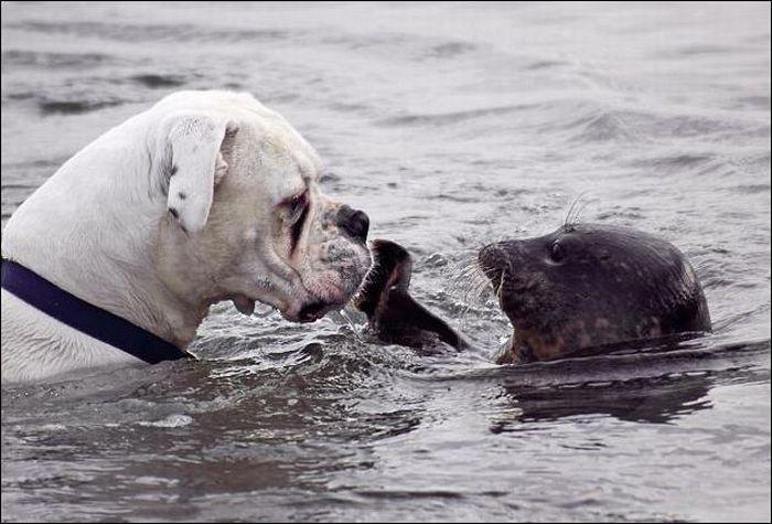 Битва за мячик. Собака и тюлень (6 Фото)
