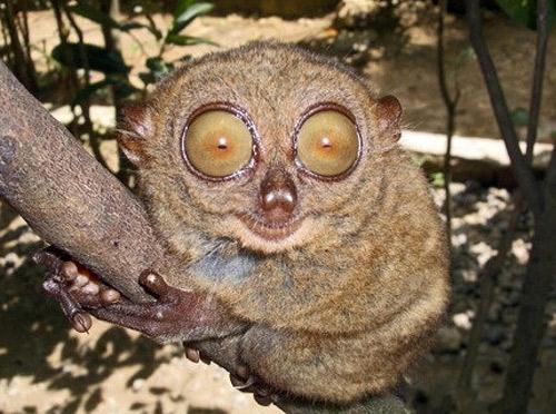 Если искать глазастых уникумов не в абсолютной, а в относительной категории — опираясь на соотношение размера <br> зрительных органов к габаритам тела, то лауреатом станет такой необычный зверек, как филиппинский долгопят.