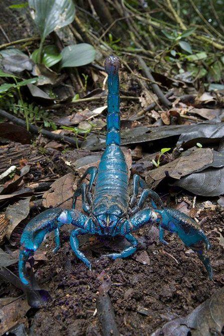 Этот Императорский скорпион длиной в 8 дюймов является одним из крупнейших скорпионов в мире. Некоторые виды из Индии лишь незначительно длиннее. Этот скорпион был найден во время исследования 2006 года в Гане. Несмотря на свои огромные размеры, скорпионы питаются преимущественно термитами и другими мелкими беспозвоночными, а его яд не особенно вреден для человека.