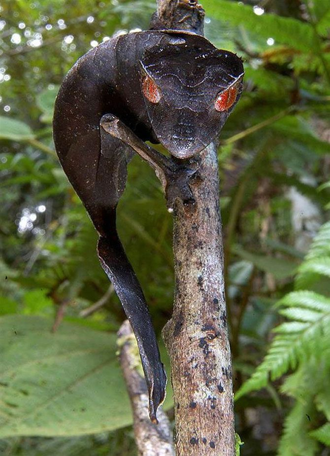 На фото изображен дьявольский листоподобный геккон, который был замечен во время исследования Мадагаскара в 1998 году. Этот вид был впервые описан в 1888 году, и является частым обитателем девственных лесов Мадагаскара. В 2004 году Всемирный фонд дикой природы занес всех листоподобных гекконов в список «Самых истребляемых», потому что их «вылавливают и продают в огромных количествах».