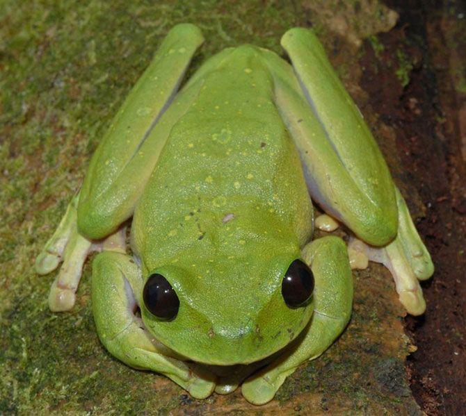 Какие огромные глаза!<br>Эта древесная лягушка с огромными глазами, длиной в 6 дюймов, была обнаружена возле горной реки во время экспедиции ПАБ по горной пустыне в Папуа – Новой Гвинее в 2008 году. Она принадлежит к группе лягушек с необычным веноподобным узором на веках.