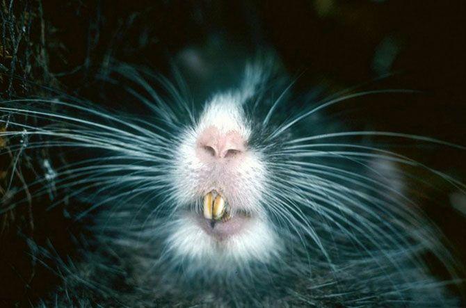 Наследие инков.<br>Шиншиллоподобная древесная крыса была обнаружена в 1997 году во время экспедиции ПБО к горному хребту Вилкабама в Перу, который находится в непосредственной близости к знаменитым руинам Мачу-Пикчу. Этот зверек бледно-серого цвета обладает коренастым телосложением, имеет длинные когти и отличается белой полоской вдоль головы.